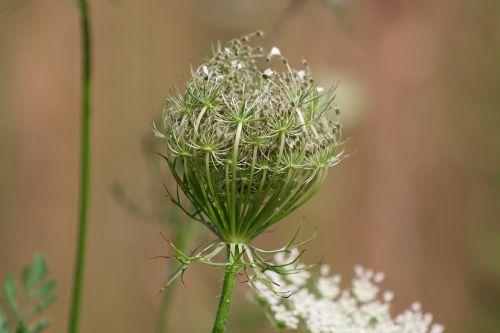 meadows-yarrow achillea millefolium faded