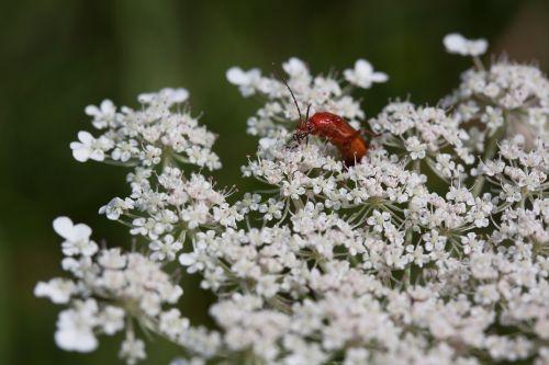 meadows-yarrow achillea millefolium flowers