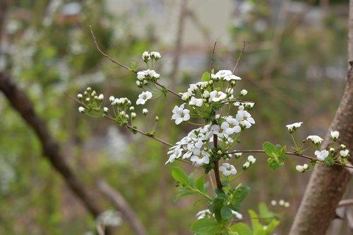 meadowsweet flower  meadowsweet  wood
