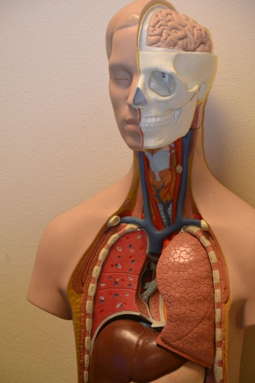 medical anatomy science