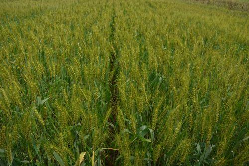medina wheat mr michael mak