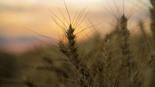 medina sunset wheat