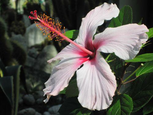 mediterranean ischia hibiscus