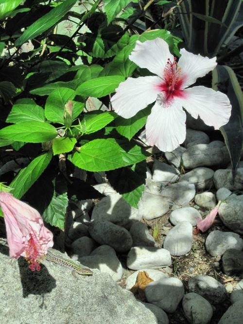 mediterranean ischia hibiscus flower