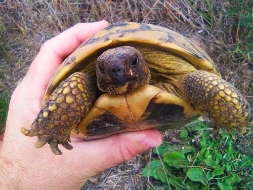 mediterranean tortoise hand pins