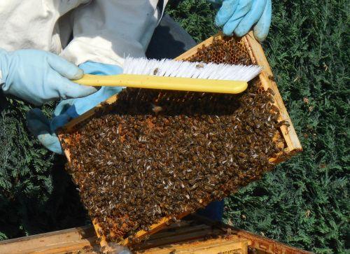 medium wall bees hive