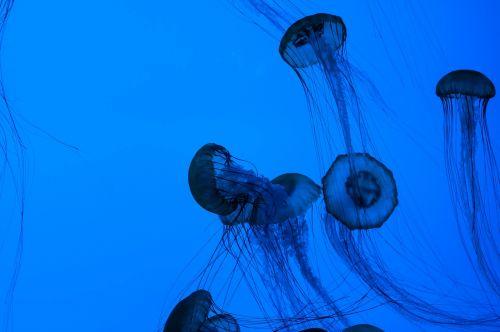 medusa ocean animals