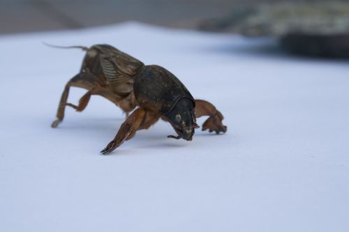 medvedka insect pest