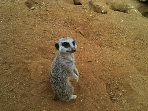 meercat looking paws