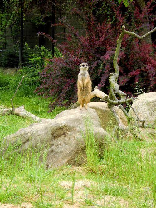 meerkat making males zoo