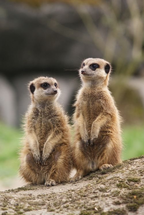 meerkat together meeting