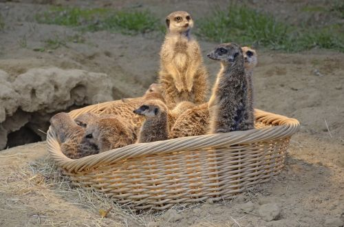 meerkat mongoose funny