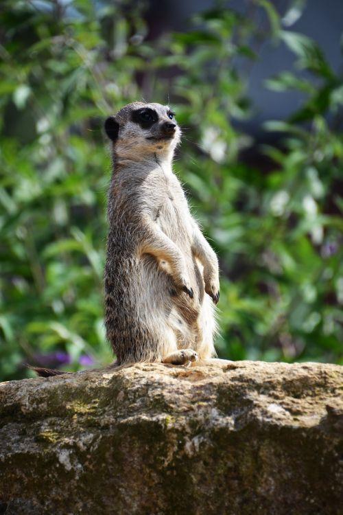meerkat guard animal