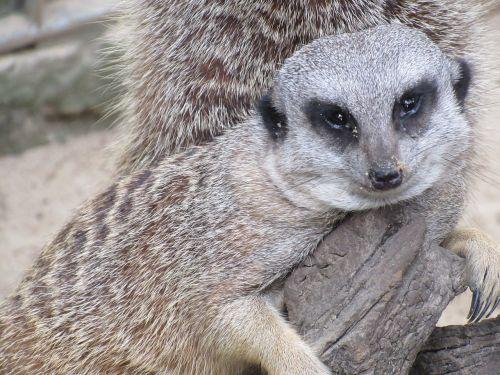 meerkat zoo lazy