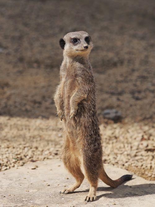 meerkat standing portrait