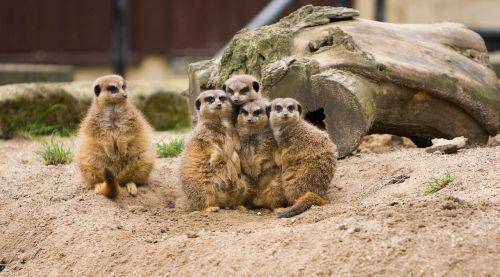 meerkat meerkats family