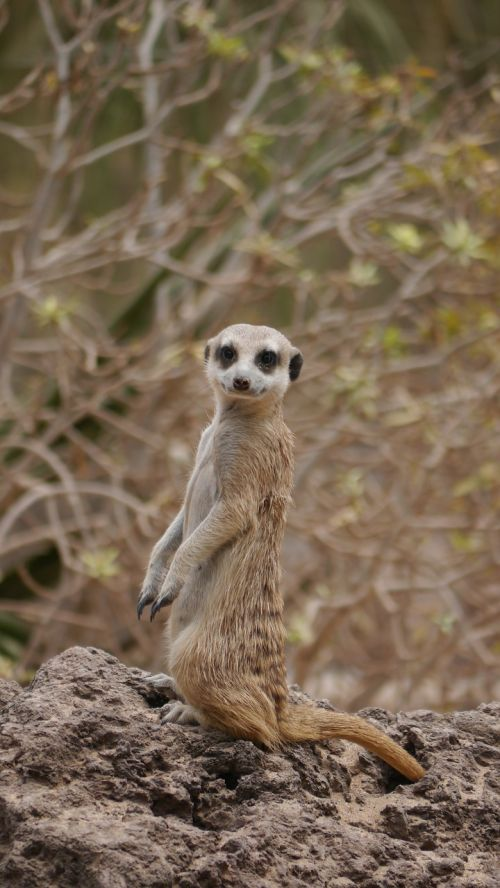 meerkat sweet attention