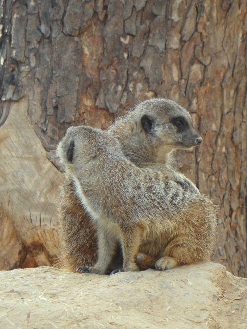 meerkat pair two
