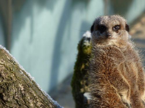 meerkat attention animal