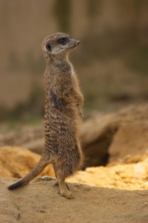 meerkat zoo nature