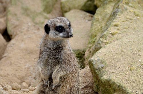 meerkat animal wild