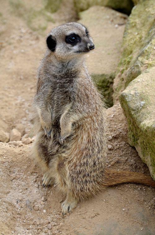 meerkat,gyvūnas,laukiniai,laukinė gamta,gamta,kailis,budrus,saugokis