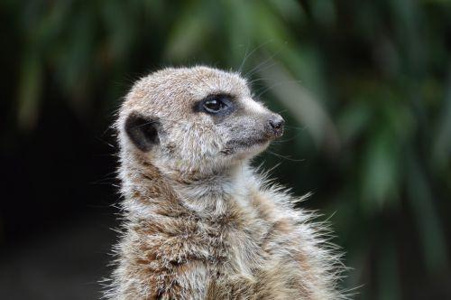 meerkat erdmännchen oliemeulen