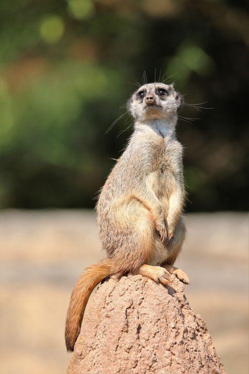 meerkat,gyvūnas,saulės garbintojai,tiergarten,gamta,afrika,zoologijos sodas,vienišas,sėdėti,laukinis gyvūnas,įdomu,mielas,saldus,apsauga