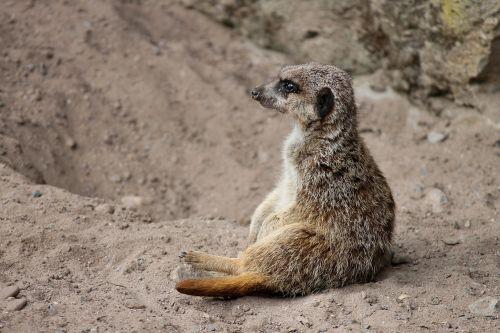 meerkat mongoose scharrtier