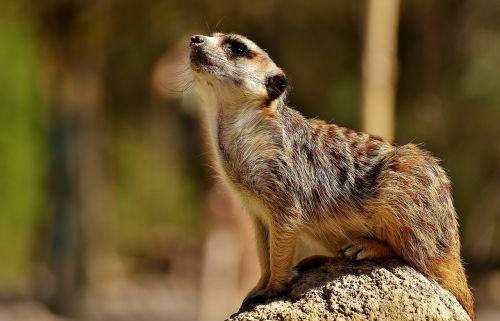 meerkat,mielas,įdomu,gyvūnas,gamta,žinduolis,laukinės gamtos fotografija,zoologijos sodas,portretas,saldus,kailis,sėdėti,hellabrunn,Munich
