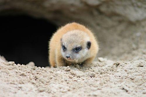 meerkat,jaunas,jaunas gyvūnas,surinkti,scharrtier,kūdikis,meerkat jaunas,Uždaryti,išsamiai,Mangoze,mielas,įdomu,zoologijos sodas