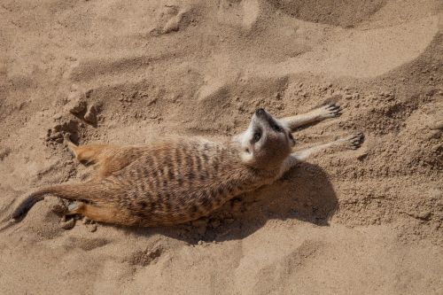 meerkat sand animal