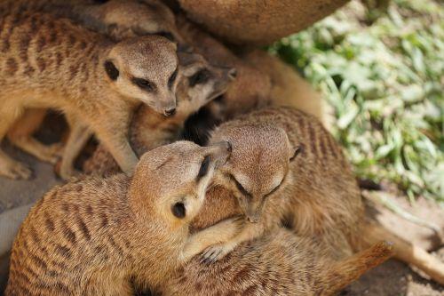 meerkat mammal zoo