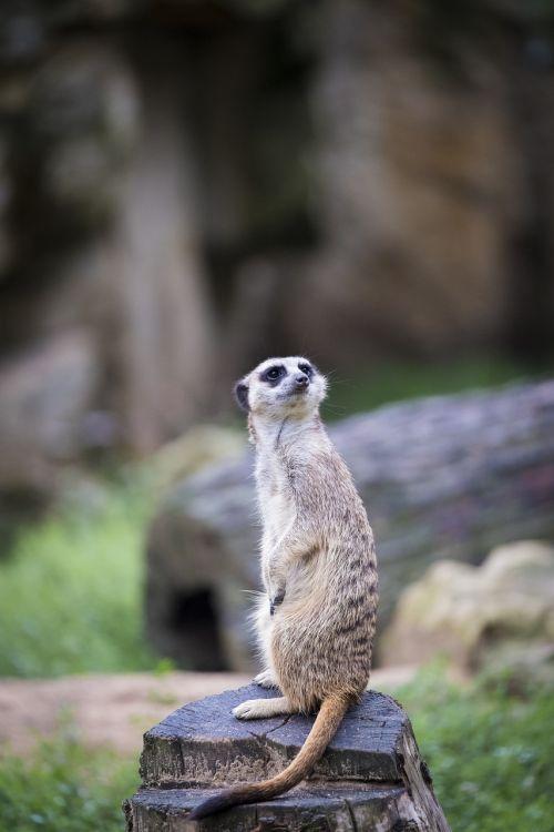 meerkat meercat scharrtier