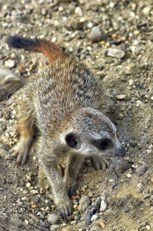 meerkat,jaunas gyvūnas,žinduolis,zoologijos sodas,įdomu,jaunas,mielas,mažas,meerkat jaunas