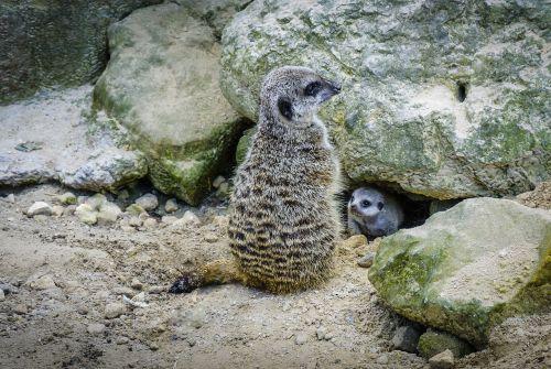 meerkat baby fauna