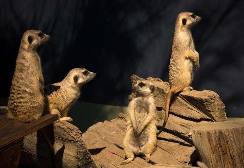 meerkat africa curious