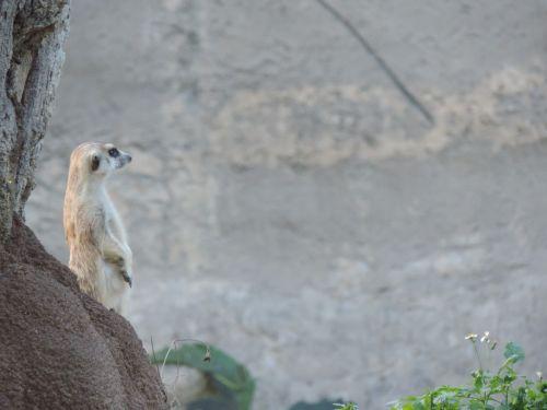 meerkat watching animal world