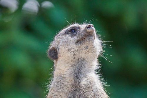 meerkat  ausschau  guard