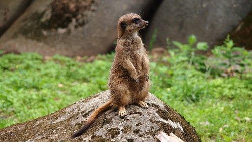 meerkat  zoo  animals