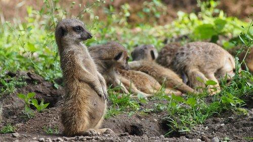 meerkat  zoo  animal