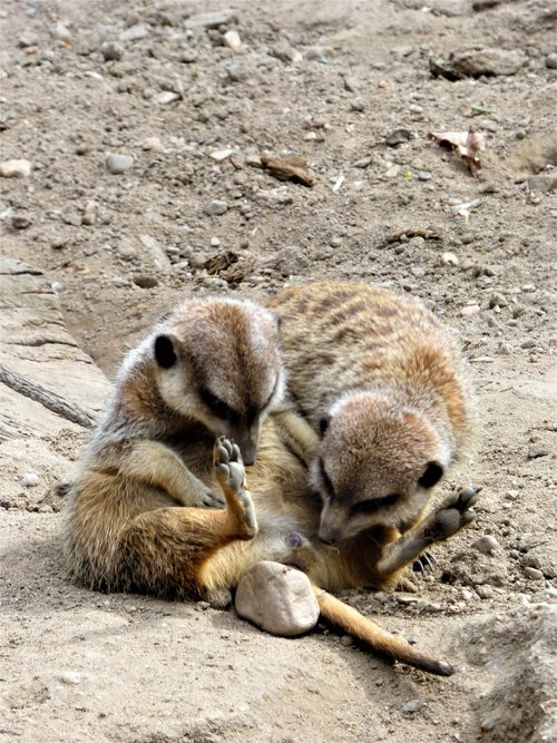 meerkat  marvel  look