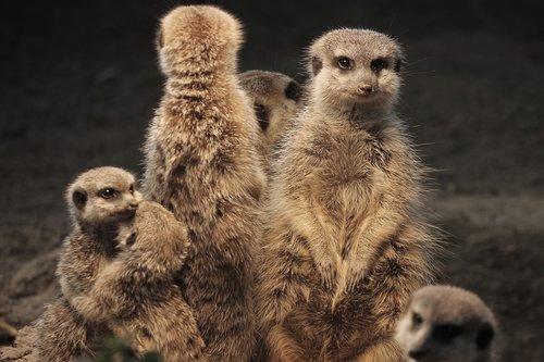 meerkat  family  warm