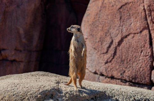 meerkat  pixie  mongoose