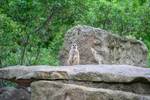 meerkat  enclosure  rock