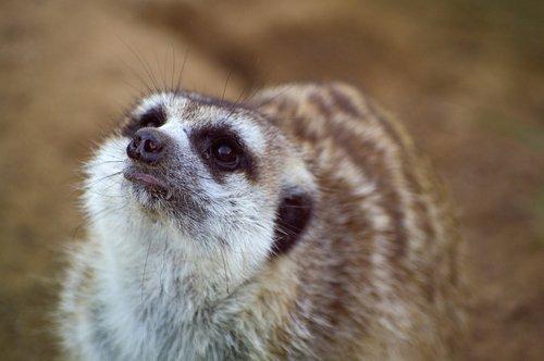 meerkat  cute  fur
