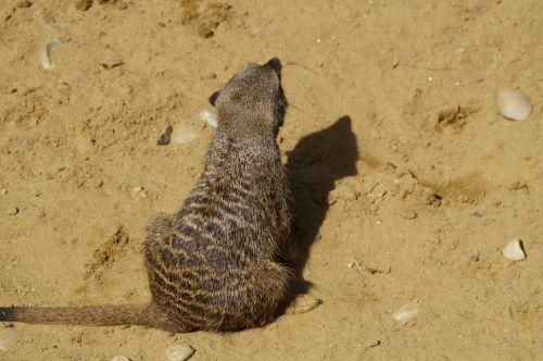 meerkat cute animal world