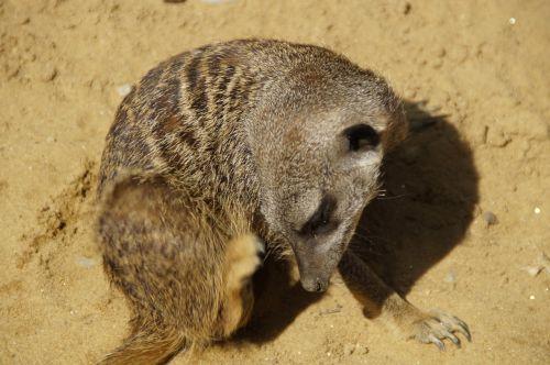 meerkat scratch cute