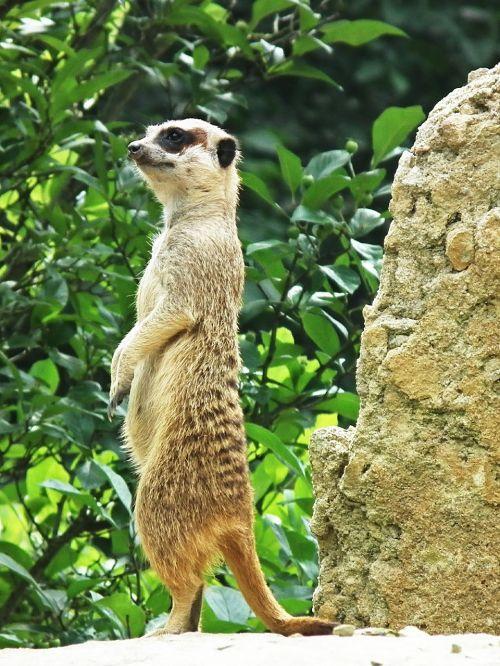 meerkat upright stand