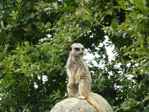 meerkat animals cute